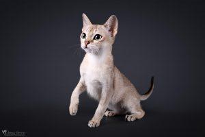 Tarptautinėje parodoje – per 200 rečiausių ir populiariausių kačių