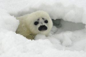 Rekordiškai šilti orai Arktyje lėmė masinį ledo tirpimą