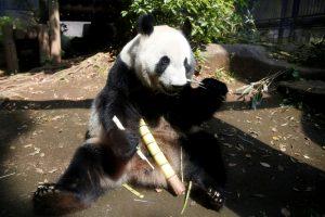 Japonijos zoologijos sodas džiaugiasi pandos mažyliu
