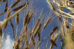 Kinai atliko planuojamų eksportuoti lietuviškų kviečių auditą