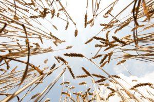 B.Markauskas: žemdirbių nuostoliai dėl liūčių gali siekti 40 mln. eurų