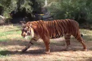 Vroclavo zoologijos sode tigras sudraskė prižiūrėtoją