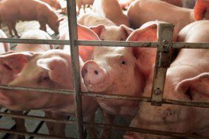 Stambiesiems kiaulių augintojams – pinigai biosaugai