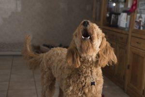 Garsiai lojančių šunų šeimininkus auklės baudomis