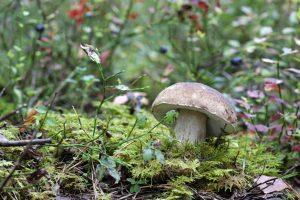 Žengiantiems į miškus grybų – perspėjimas