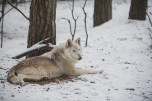 Į Rastinėnus atklysta vilkai