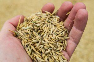 Tikrino maistinius grūdus dėl pesticidų likučių