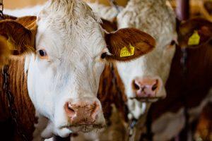Nyderlanduose gyvulius perka ir Lietuvos ūkininkai