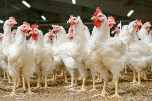 """""""Rimi"""" nebeprekiaus narvuose augintų vištų kiaušiniais"""