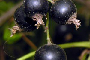 Vyndariai: juodųjų serbentų derliui lietuviška vasara buvo į naudą