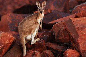 Prisimenant Australiją: akinantys paplūdimiai, 40 laipsnių karštis ir kengūros