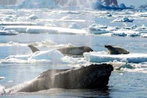 Nė nepagalvotum: kuprotieji banginiai – tikri altruistai