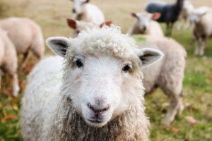 Sukurta dirbtinio intelekto programa stebėti avių skausmus