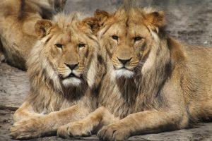 Iš Leipcigo zoologijos sodo naktį pabėgę du liūtai – sugauti