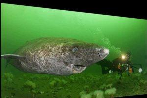 Arktiniai rykliai gali gyventi iki 400 metų