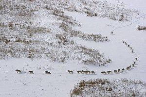 Plačiai nuskambėjęs užrašas po nuotrauka su vilkais – išgalvotas