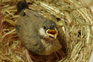 Paukščiai dar neišsiritusius jauniklius giedojimu perspėja, kad lauke karšta
