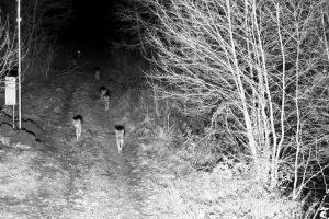 """Pareigūnai sulaukė """"žvėriško pastiprinimo"""": pasienyje – gauja vilkų"""