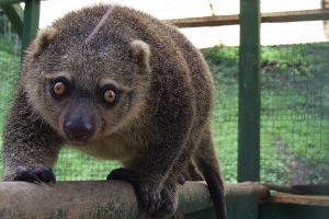 Zoologijos sode gimė itin retas meškinis kuskusas