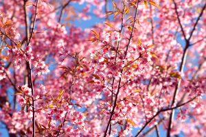 Sakuros – ne tik pavasario, bet ir globalių klimato pokyčių pranašai