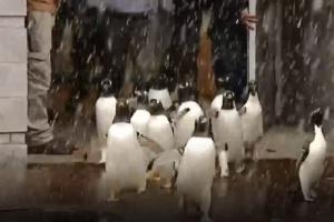 Iškritusiu sniegu mėgaujasi ne tik vaikai, bet ir pingvinai