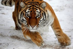 Tigrus saugo ir buvę brakonieriai