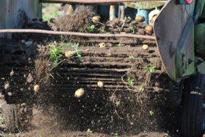 Plungės rajone sulaikytas girtas bulviakasę vairavęs vyras