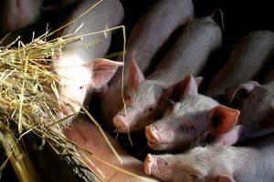 G. Surplys paragino EK kompensuoti sausros ir kiaulių maro nuostolius