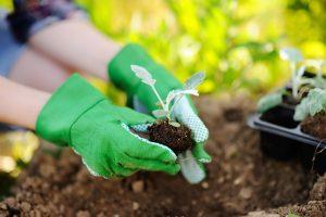 Augalų priežiūra per karščius: laistymas dieną gali būti pražūtingas