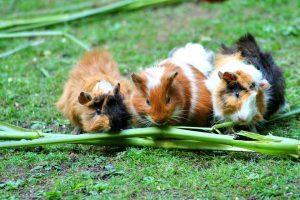 Patarimai, kaip pasigaminti vasaros rezidenciją jūrų kiaulytėms