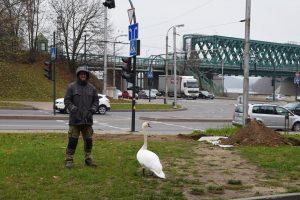 Mieste gelbėjo sužeistą gulbę: iki nelaimės buvo vos vienas žingsnis
