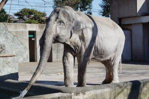 Sulaukęs 69 metų Japonijoje nugaišo mylimiausias šalies dramblys