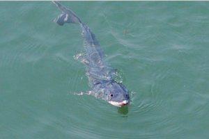 140 mln. metų egzistuojančios žuvys atsidūrė pavojuje