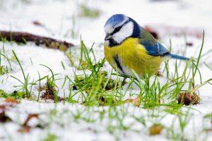 Ornitologas: nelesinkite paukščių rugiais ir juoda rugine duona