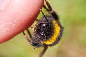 Pražudyti gali net ir vienos bitės nuodai