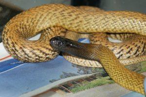Australijos zoologijos sode moteriai įkando gyvatė