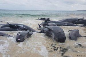 Australijoje išgelbėti tik penki iš daugiau nei 150 į krantą išmestų delfinų