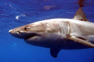 Naujojoje Kaledonijoje ryklys mirtinai sužalojo australą