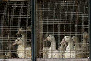 Olandijoje dėl paukščių gripo išpjauta kone 200 tūkst. ančių