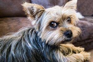 Šunį pavogusiems sutuoktiniams – laisvės apribojimas