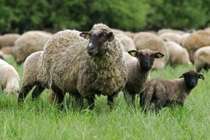 Pakruojo rajone apšaudyta avių banda