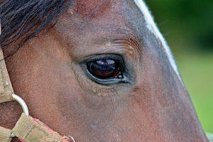Teismas neatėmė arklių iš ūkininko, kaltinto jų kankinimu