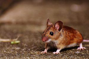 Skrydis iš Londono į San Fransiską atšauktas dėl pelės