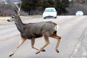 Įspėja vairuotojus: atsargiai, keliuose – stirnos!