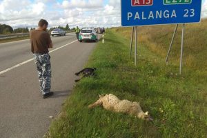 Palangos plente mersedesas partrenkė avis ir jas gaudžiusį šunį