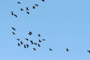 Gamtoje – keisti pokyčiai: pastebėti išskrendantys paukščiai