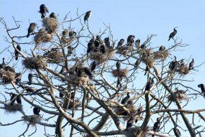 Viskas apie kormoranus – didžiausioje Juodkrantės kolonijoje
