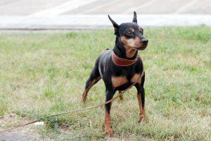 Ar gali nepilnametis vedžioti šunį be antsnukio?