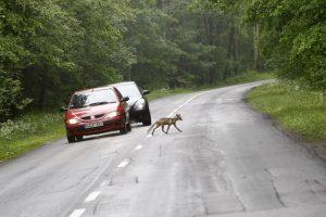 Vairuotojų dėmesį blaško lapės