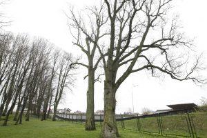 Šimtamečiai ąžuolai dar stovės